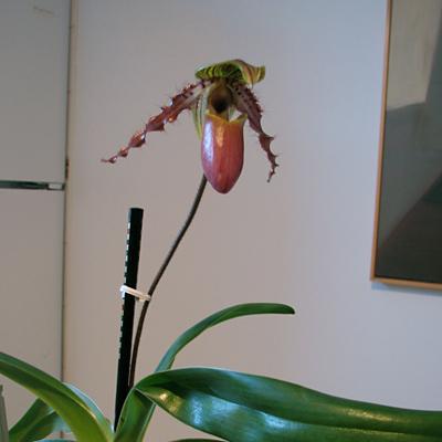 Paphiopedilum glaucophyllum x glanduliferum